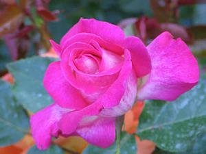 illustration The rose (traduction - chanson de Bette Middler)